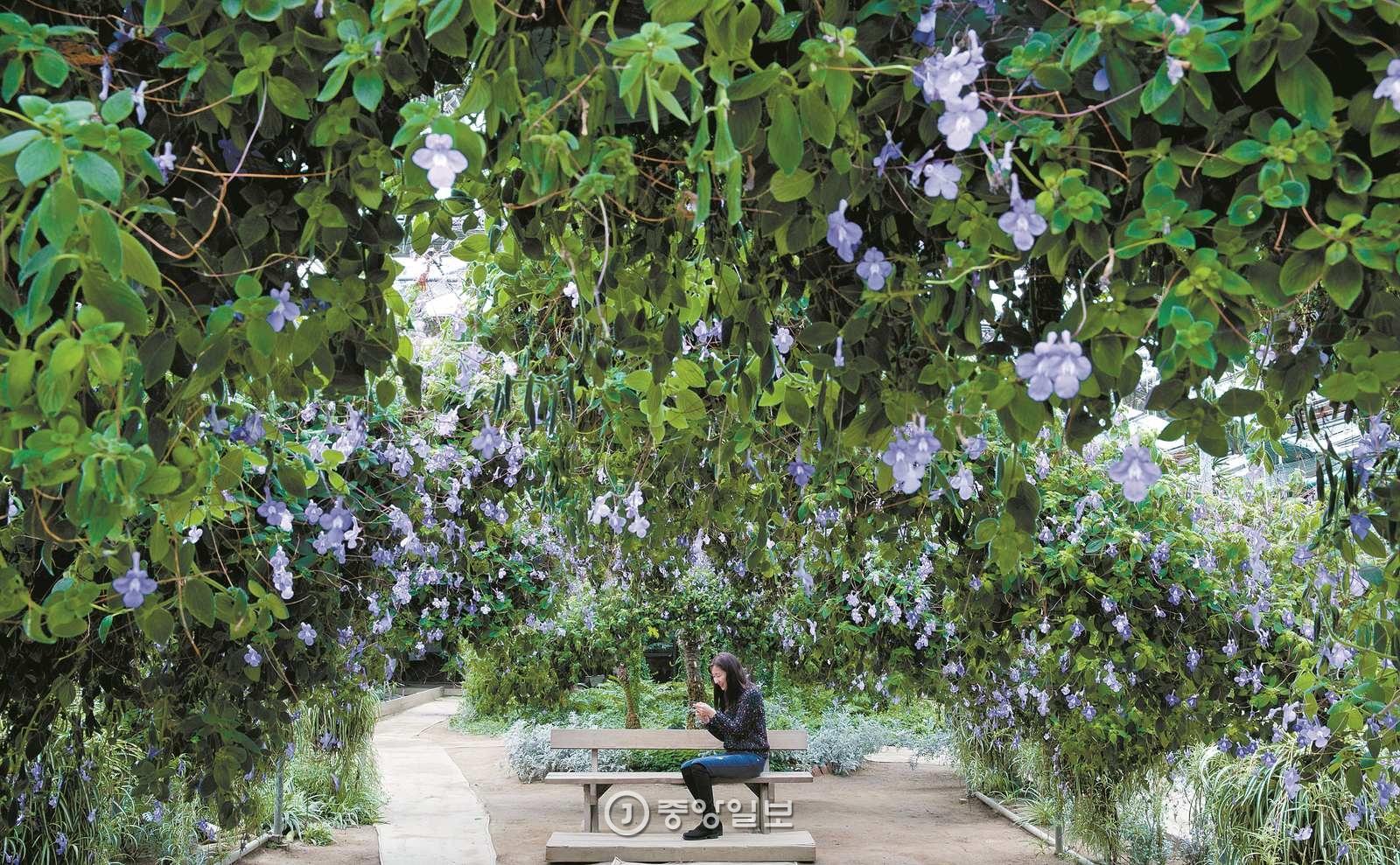 보랏빛 꽃 스트렙토칼펠라 삭소롬이 만발한 아산 세계꽃식물원.