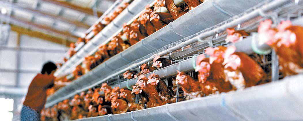 국내 양계장은 닭 한 마리가 차지하는 면적이 A4용지보다도 작다. 좁은 공간에서 여러 마리를 기르다보니 전염병 예방과 대처에 불리하다. [중앙포토]