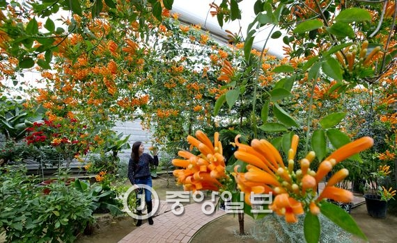 충남 아산 세계꽃식물원에서 한 관람객이 오렌지트럼펫을 살펴보고 있다. 오렌지트럼펫은 열대식물로 꽃이 덩굴 끝에 핀다.
