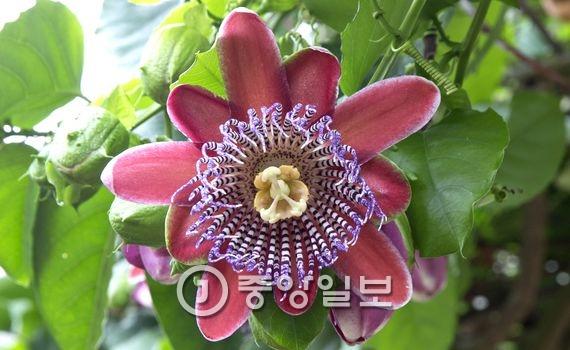 시계초(Passion flower) : 남미 원산지인 이 꽃은 시계모양을 가지고 있다고 하여 시계초라고 불린다. 5장의 꽃잎과 5장의 꽃받침은 유다와 베드로를 제외한 10명의 예수님 제자들을 상징한다. 화관은 가시면류관, 5개의 수술은 5개의 성흔, 3개의 암술은 예수님 몸에 박힌 3개의 못 자국을 상징한다고 여겨져 예수수난의 꽃(Passion flower)으로 불린다. 열매는 음료수나 아이스크림, 케이크 등 고급 디저트 재료로 쓰인다.