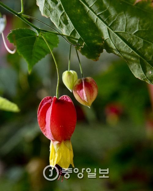브라질 아부틸론 : 브라질 아부틸론 꽃은 붉은색과 노란 색으로 구성되어 있는 것 같지만 붉은 부분은 꽃받침이고 노란 부분이 꽃이다. 노란 꽃을 당기면 달콤한 꿀이 나온다.
