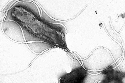 헬리코박터 파이로리균