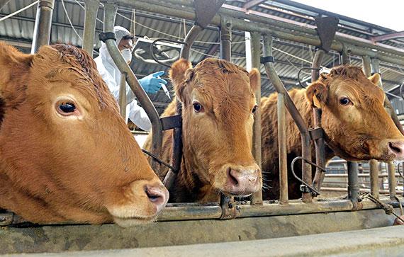 방역 담당자들이 8일 충남 논산의 농가에서 한우 구제역 백신을 접종하고 있다. [논산=프리랜서 김성태]