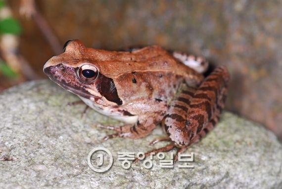 북방산개구리 암컷. [사진 국립생물자원관]