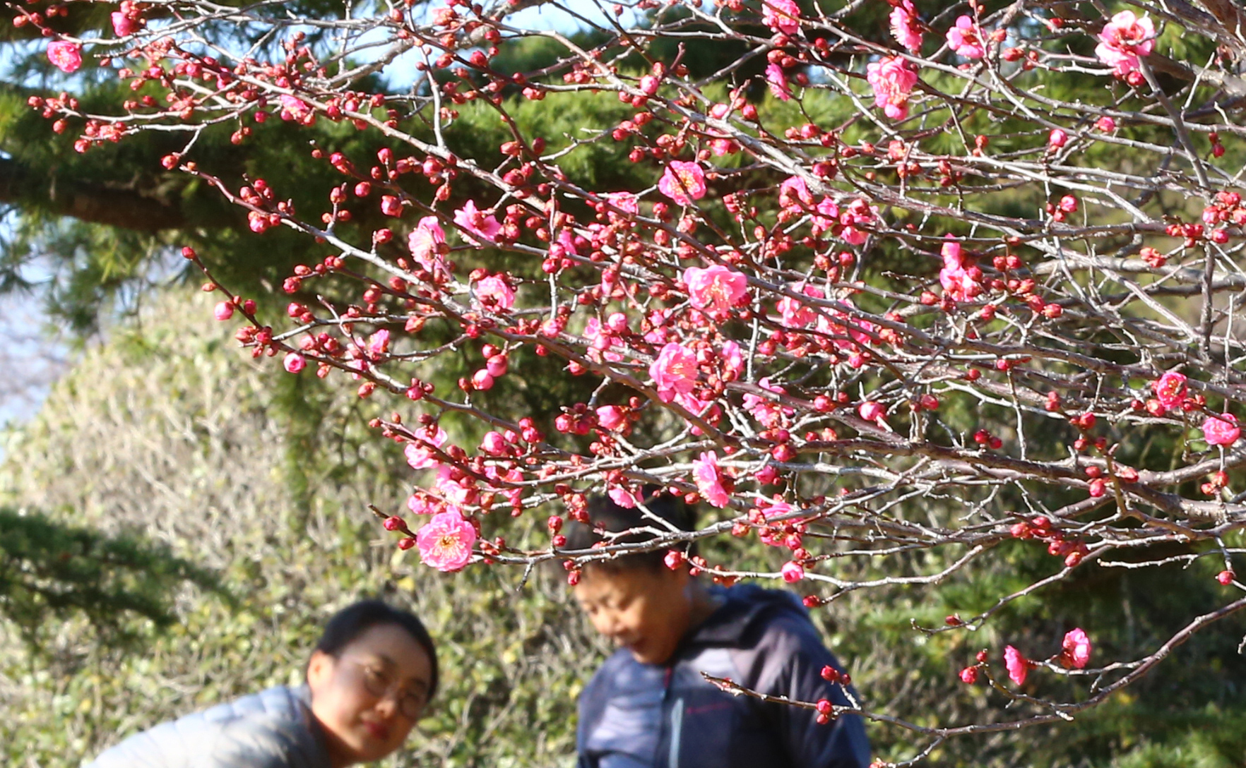 겨울 답지 않은 날씨가 이어지면서 지난 1월 3일 소한(小寒)을 이틀 앞두고 부산시 남구 유엔기념공원에 있는 홍매화가 꽃망울을 터뜨렸다. [중앙포토]