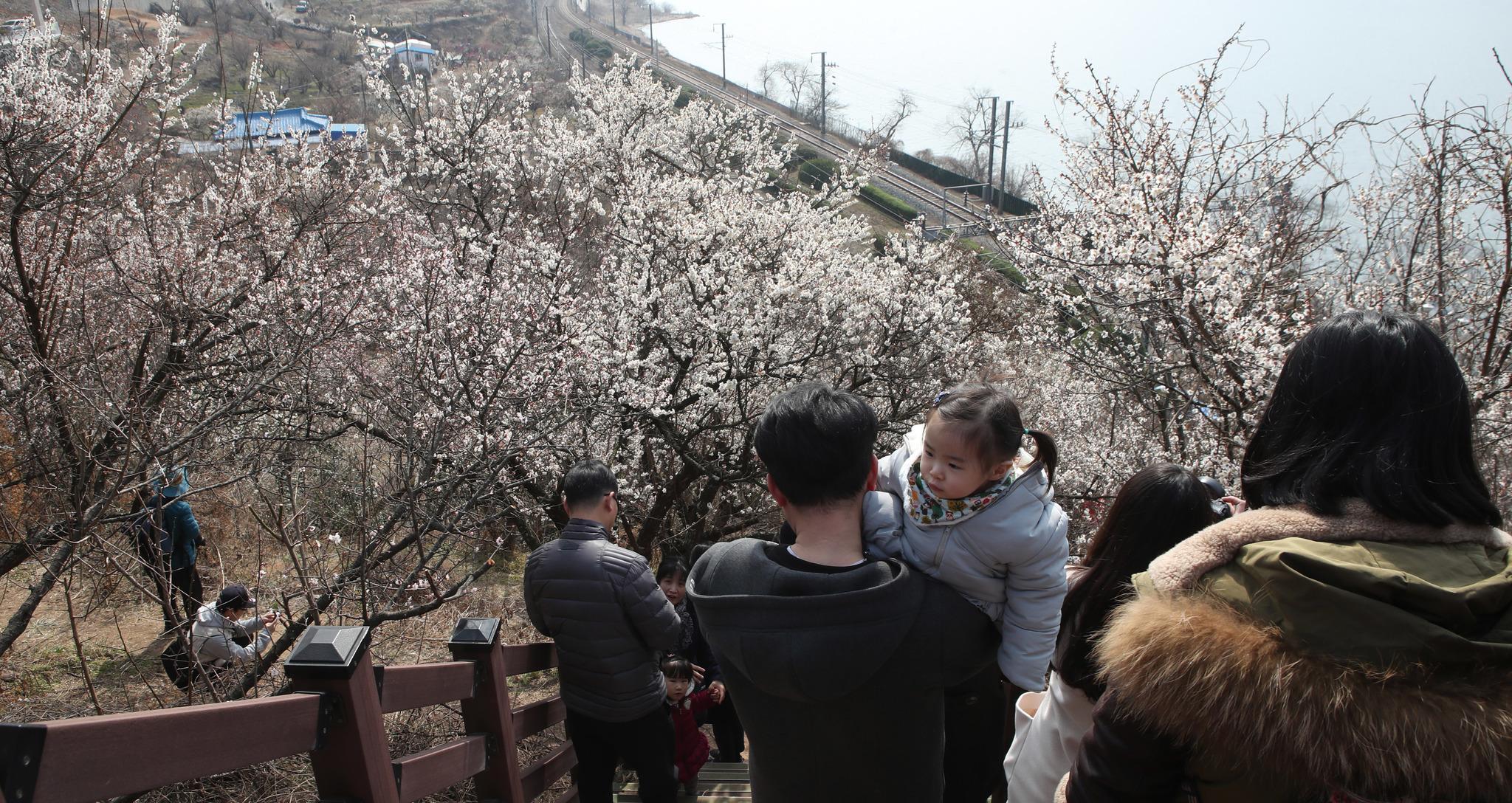 봄을 맞은 경남 양산의 매화마을 [중앙포토]