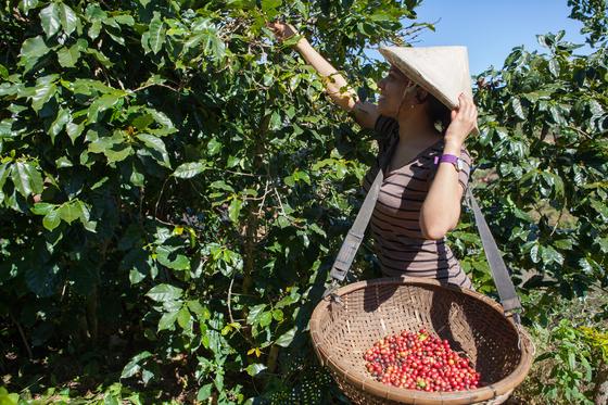 여행객이농장에서 빨갛게 익은 커피 체리를 따는 모습. 보통 2월께 수확이 끝난다.