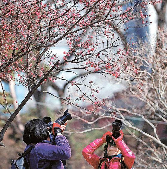 완연한 봄 날씨를 보인 16일 오후 사진작가들이 서울 삼성동 봉은사 경내에 핀 홍매를 촬영하고 있다. 기상청은 당분간 기온이 평년과 비슷하거나 조금 높아 낮 동안에는 포근할 것으로 예보했다. [사진 김상선 기자]