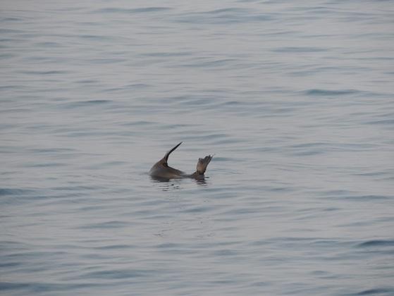 동해바다에서 발견된 물개    [사진 포항해영경비안전서]