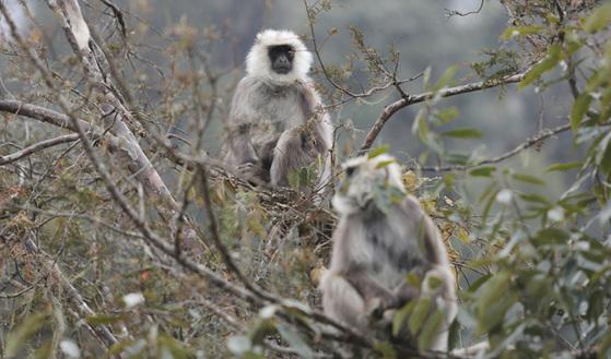 차를 타고 가다 느닷없이 만난 부탄 원숭이. 4~5m 거리까지 근접했지만 도망가지 않는다.