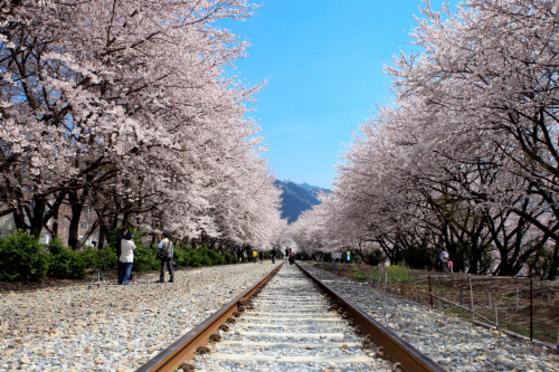 벚꽃 터널을 이룬 창원 진해구 경화역. 군항제 기간에만 개방한다. [중앙포토]