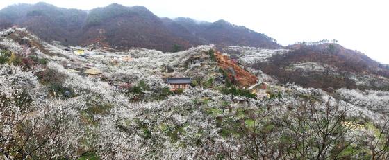 매화에 묻힌 전남 광양 다압면 섬진강 마을.