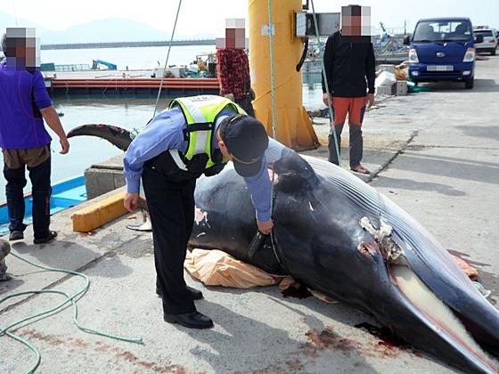 31일 9시 26분 여수시 남면 연도 북서방 0.5㎞ 해상에서 길이 4m70cm의 밍크고래가 죽은 채로 혼획됐다. 해경은 포획된 흔적이 없어 밍크고래를 최초 발견자에게 인계키로 했다. 사진과 기사내용은 관련 없음.[중앙포토]