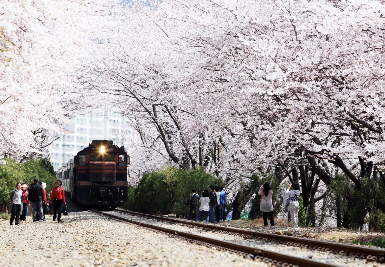 진해군항제 벚꽃명소 7곳 총정리