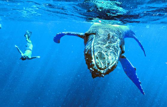 고래도 교통사고를 당한다. WDC 연구에 따르면 10마리 중 1마리가 선박과 충돌한 사고를 당한 것으로 분석됐다. [중앙포토]