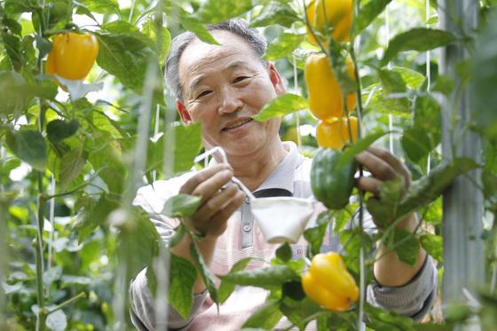 경북 군위군 파프리카 농장에서 구태원 씨가 해충을 먹는 천적 곤충인 '지중해이리응애'가 든 종이컵을 작물에 매달고 있다. [군위=프리랜서 공정식]