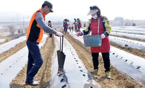 충북 증평군의 한 감자 밭에서 생산적 일손 봉사에 참여한 사람들이 파종작업을 하고 있다. [프리랜서 김성태]