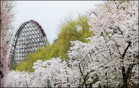 에버랜드는 느지막이 벚꽃놀이를 즐길 수 있는 명소다. [사진 에버랜드]