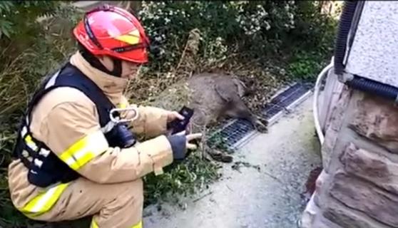 지난해 10월 서울 종로구 신영동 주택가에 나타난 야생 멧돼지. 경찰관과 소방관 40여 명이 출동해 약 2시간 만에 포획했다.  [사진제공=종로소방서]