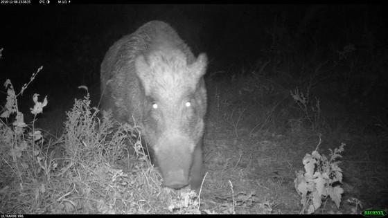 북한산 일대에 설치된 무인카메라에 포착된 멧돼지들. 경기도 고양시 효자원.[사진 국립생물자원관]