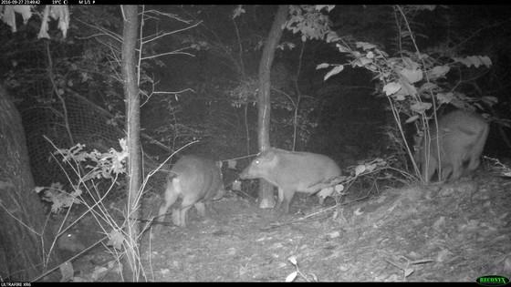 북한산 일대에 설치된 무인카메라에 포착된 멧돼지들.강북구 우이동 신익회 선생 묘 주변. [사진 국립생물자원관]