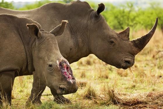 아프리카 남아공의 코뿔소. 밀렵으로 목숨을 잃는 것을 방지하기 위해 국립공원 관리 당국에서 아예 뿔을 잘라버리는 경우도 있다. [사진 세계자연기금]