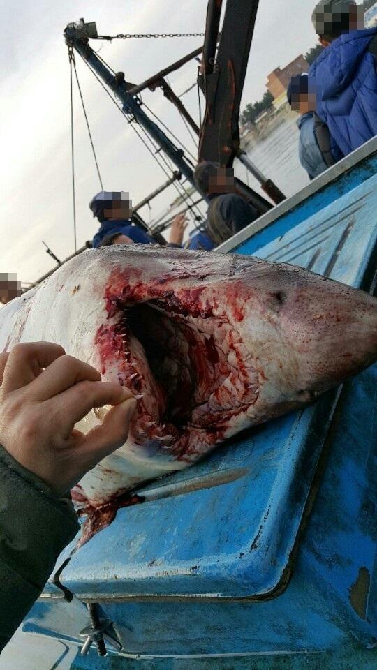 지난 14일 경북 영덕군 원척항 800m 해상에서 발견된 백상아리. [사진 포항해영경비안전서]