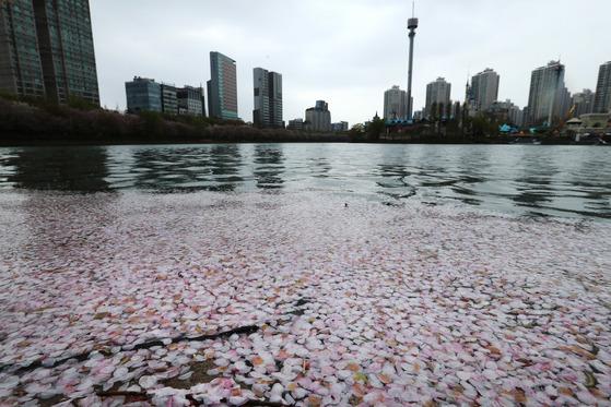서울을 비롯한 수도권지역에 비가 내린 지난 14일 오후 서울 잠실 석촌호수에 벚꽃잎이 떨어져 있다. 전민규 기자