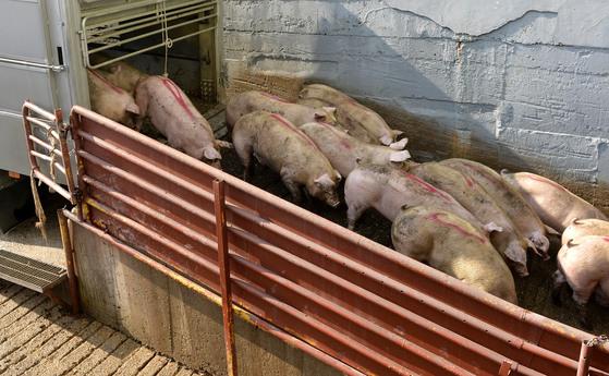 대전의 한 도축장에 들어온 돼지들. 돼지분뇨는 수분이 많아서 제대로 처리를 안할 경우 수질을 오염시킬 수 있다. 이런 문제를 해결하는 데에 4차 산업혁명 기술이 쓰인다. [중앙포토]