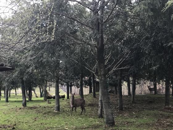 제주시노루생태관찰원에는 109마리의 노루가 관광객들을 기다리고 있다. 최충일 기자