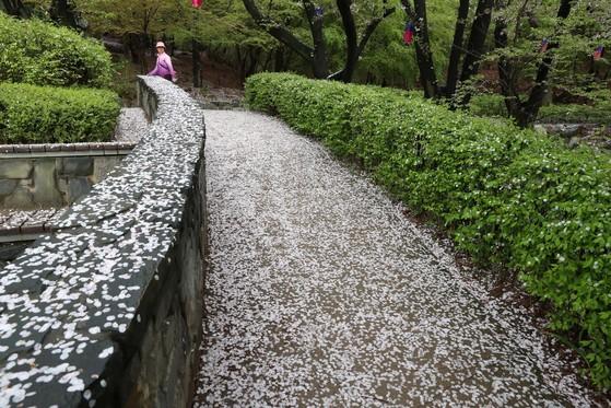 계절은 봄인데눈이라도 내린 걸까요. 18일 서울 서대문구 안산 자락길에 벚꽃잎이 눈처럼 쌓였습니다. 봄꽃을 그리워했던 사람들로부터 눈길을 한 몸에 받았던 벚꽃이건만 떠나는 건 일순간이네요. 김상선 기자