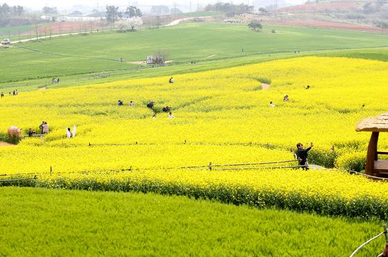19일 전북 고창군 공음면 청보리밭. 보리밭옆으로 만발한 노란 유채꽃이 상춘객들을 맞고 있다. 프리랜서 장정필