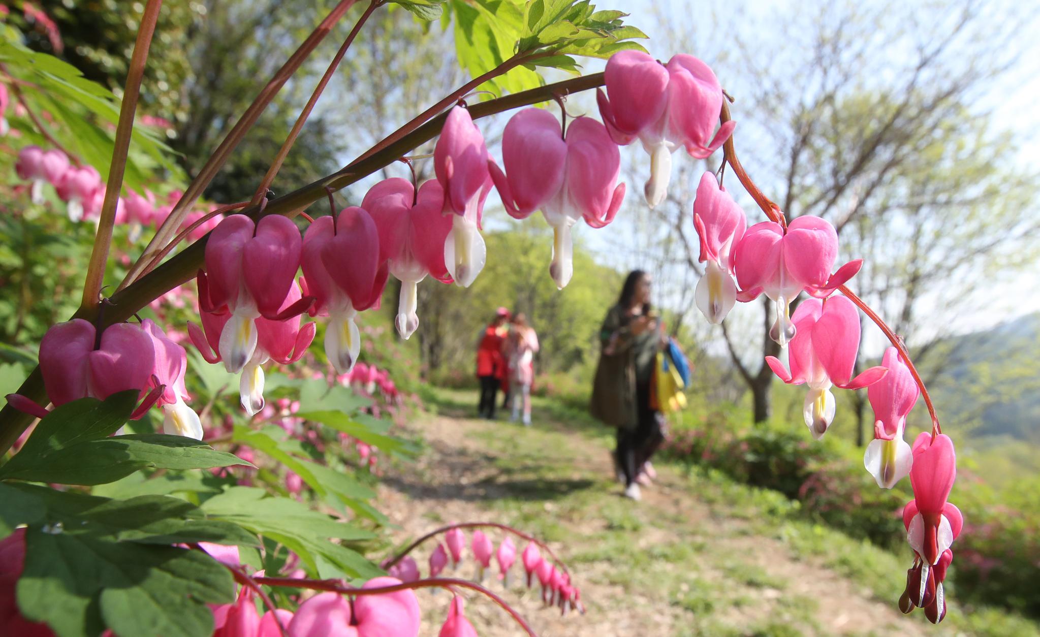 '제15회 서운암 들꽃축제가 23일 경남 양산시 통도사 서운암에서 열리고 있다. 사진 속 꽃은 금낭화. 송봉근 기자