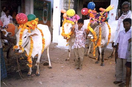 암소는 힌두교의 신 크리슈나가 제일 아끼는 동물이다. 암소에 대한 숭배는 신을 기리는 축제에서 흔히 발견된다. 인도 소축제에서 어린이가 화려하게 꾸민 소를 잡고 있다. [중앙포토]