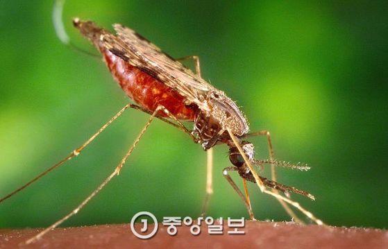 말라리아 모기. 열대·아열대 여행 시에는 모기에 주의해야 한다. [중앙포토]