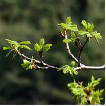 잎이 나기 시작할 무렵의 신갈나무. [사진 국립공원관리공단]