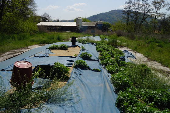 경기도 안성시의 가축 매몰지. 빗물이 스며드는 것을 막기 위해 덮어놓은천막 비닐이 이리저리 찢겨있고 잡초도 무성하게 자랐다.[강찬수 기자]