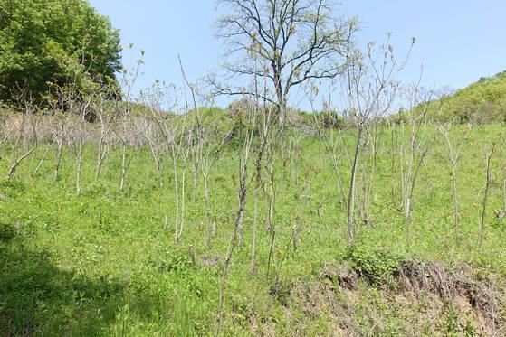 옻나무 밭: 주민 대부분이 노인들인 농촌에서 농기계가 들어가기 어렵고 경사가 급한 농지는 묵을 수밖에 없다.옥천군은이런 땅에 옻나무 14만 그루를 심어 2005년 옻산업특구가 됐다. 옻 순이 먹기 좋은 크기로 자라 있다.