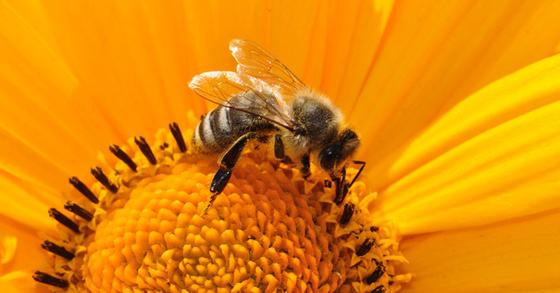 꿀벌 [pixabay]