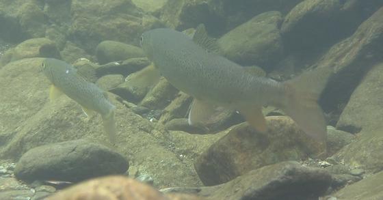 태백산 국립공원 계곡에서 번식을 준비하고 있는 열목어 한 쌍. 몸집이 작은 쪽이 수컷이다. [사진 국립공원관리공단]