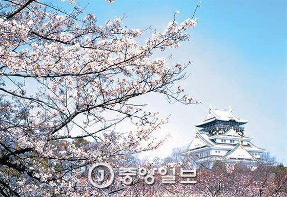 일본 오사카성에 있는 왕벚나무. [사진 JNTO(국제관광진흥기구)]