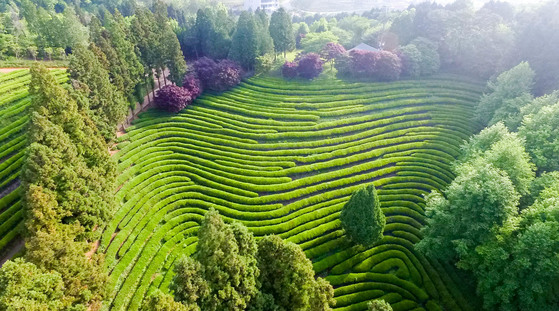 5월의 녹음과 녹차나무가 어우러진 보성 녹차 밭 전경. 프리랜서 장정필