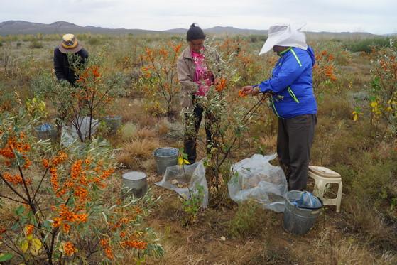 몽골 바양노르에 위치한 푸른아시아 조림지에서 주민들이 차차르칸 나무에 열린 주황색 열매를 수확하고 있다. 2007년 조림을 시작하기 전 이곳은 풀 한 포기 없는 황량한 곳이었다. [중앙포토]