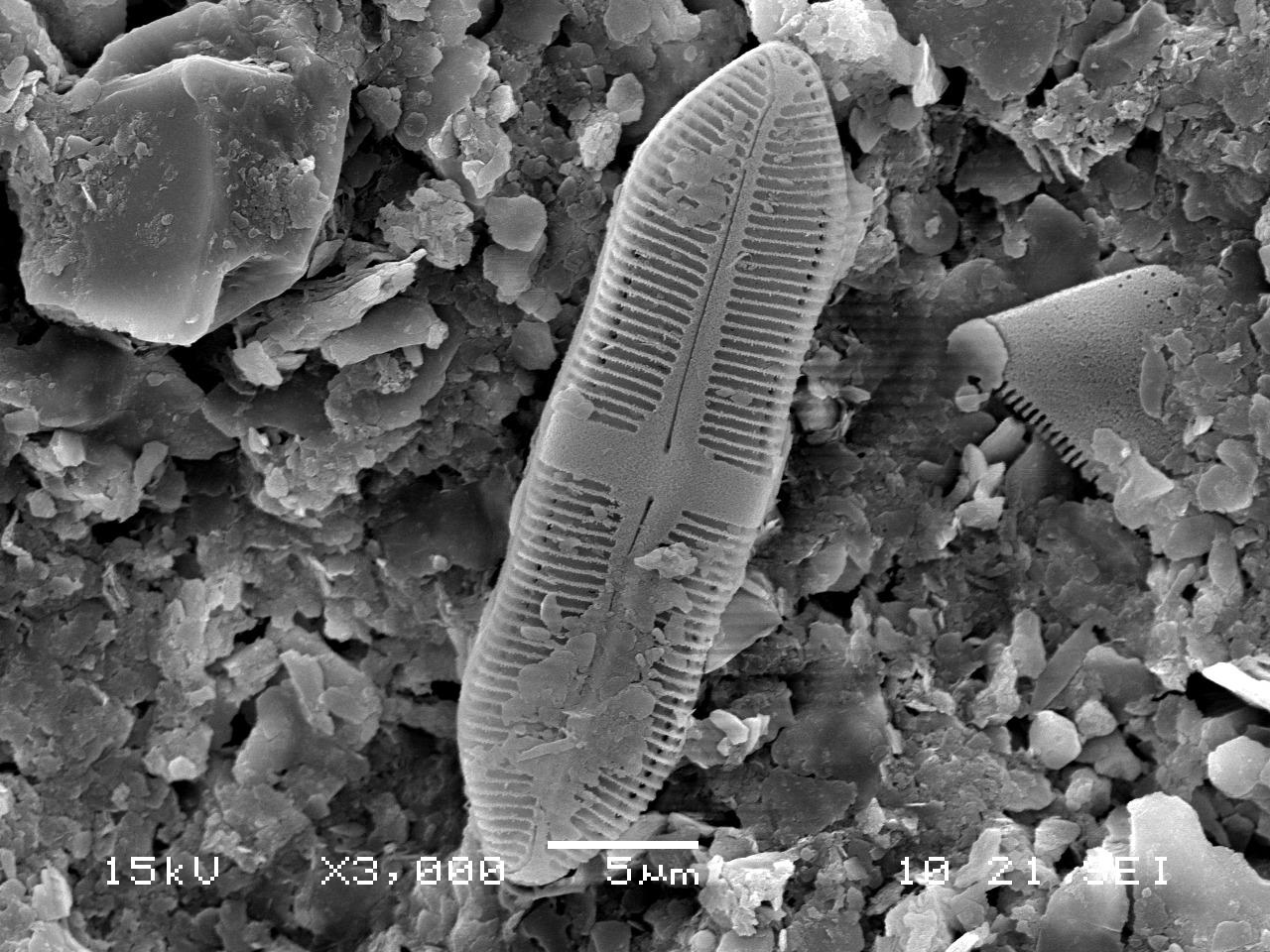 칼로네이스 와디(Caloneis wardii) [사진 국립낙동강생물자원관]