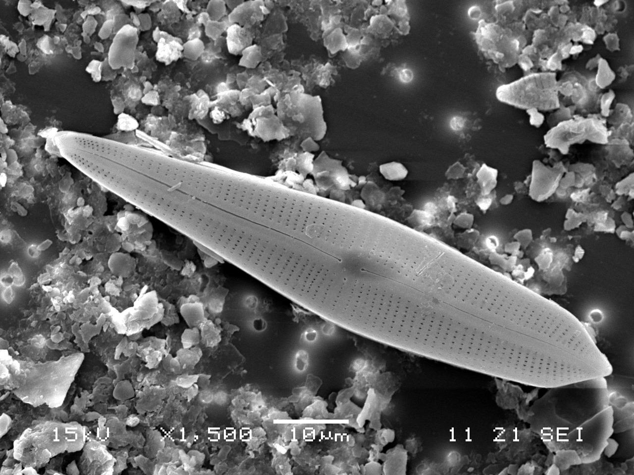 곰포네마 네오아피쿨라툼(Gomphonema neoapiculatum) [사진 국립낙동강생물자원관]