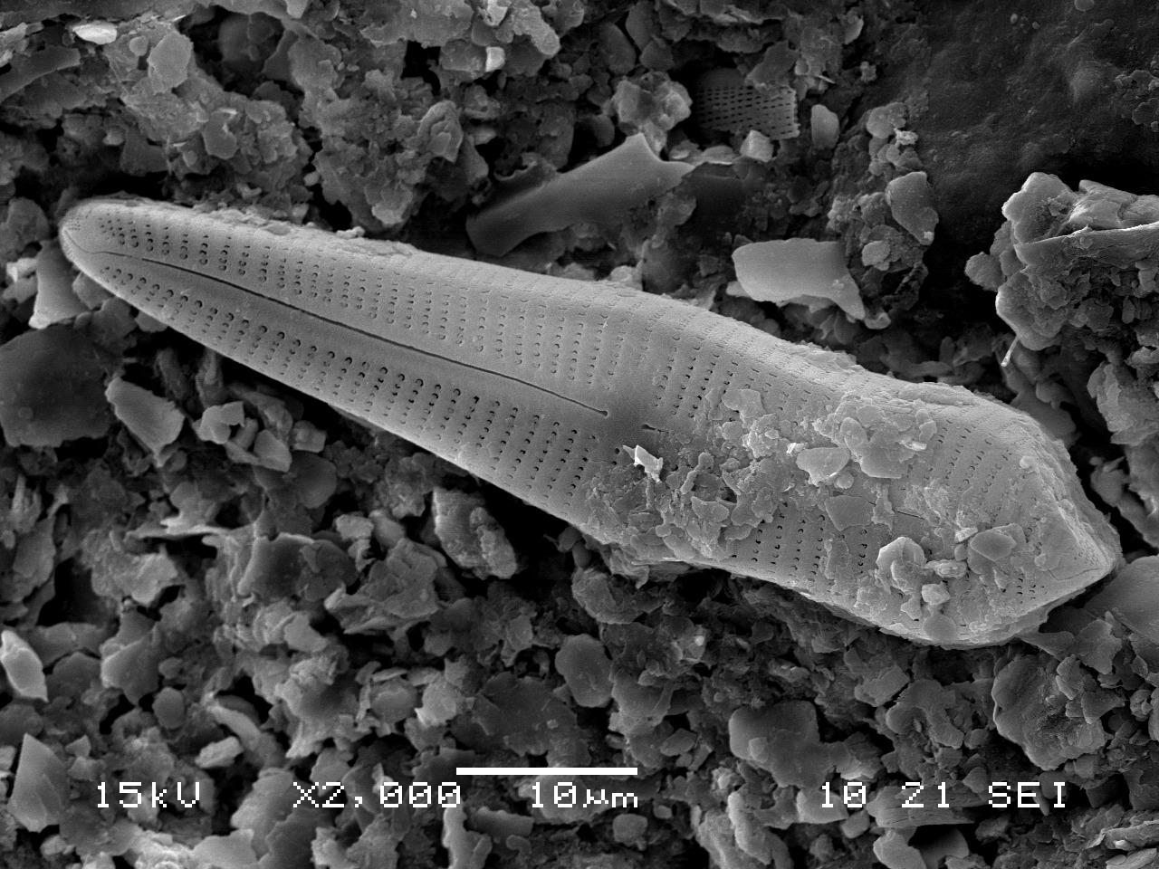 곰포네마 아시아티쿰(Gomphonema asiaticum) [사진 국립낙동강생물자원관]