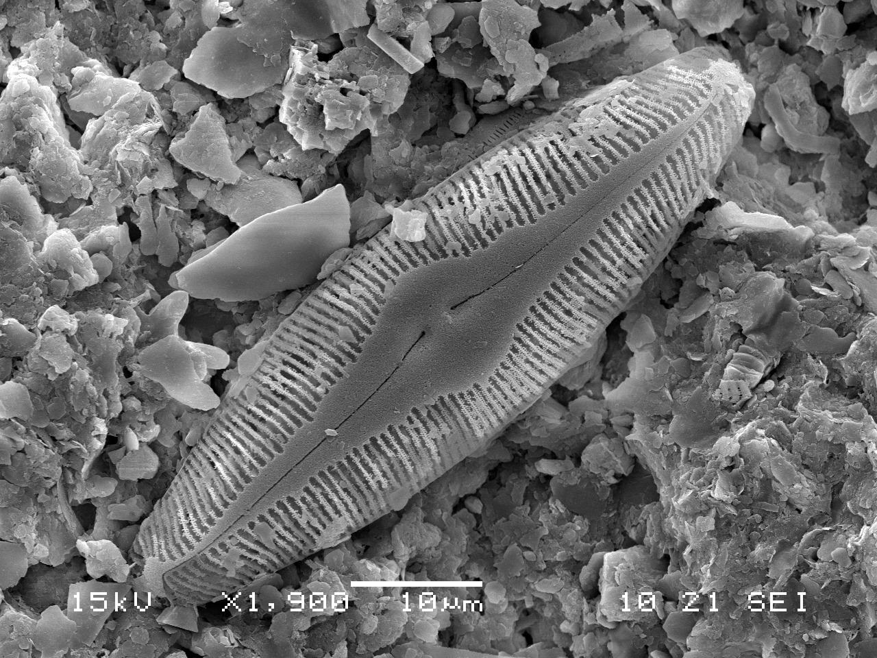피눌라리아 푸사나(Pinnularia fusana) [사진 국립낙동강생물자원관]