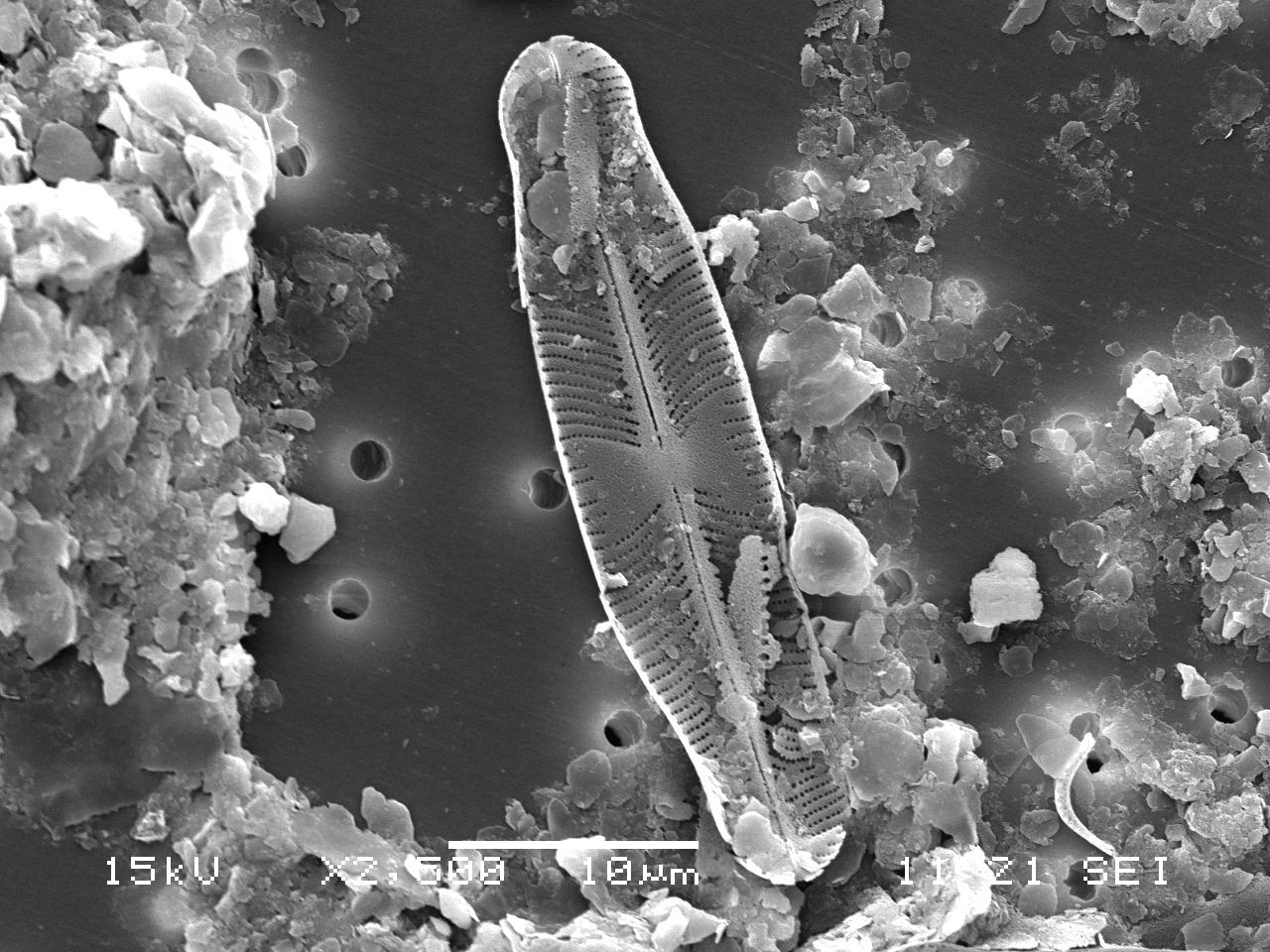 셀라포라 카피타타(Sellaphora capitata) [사진 국립낙동강생물자원관]