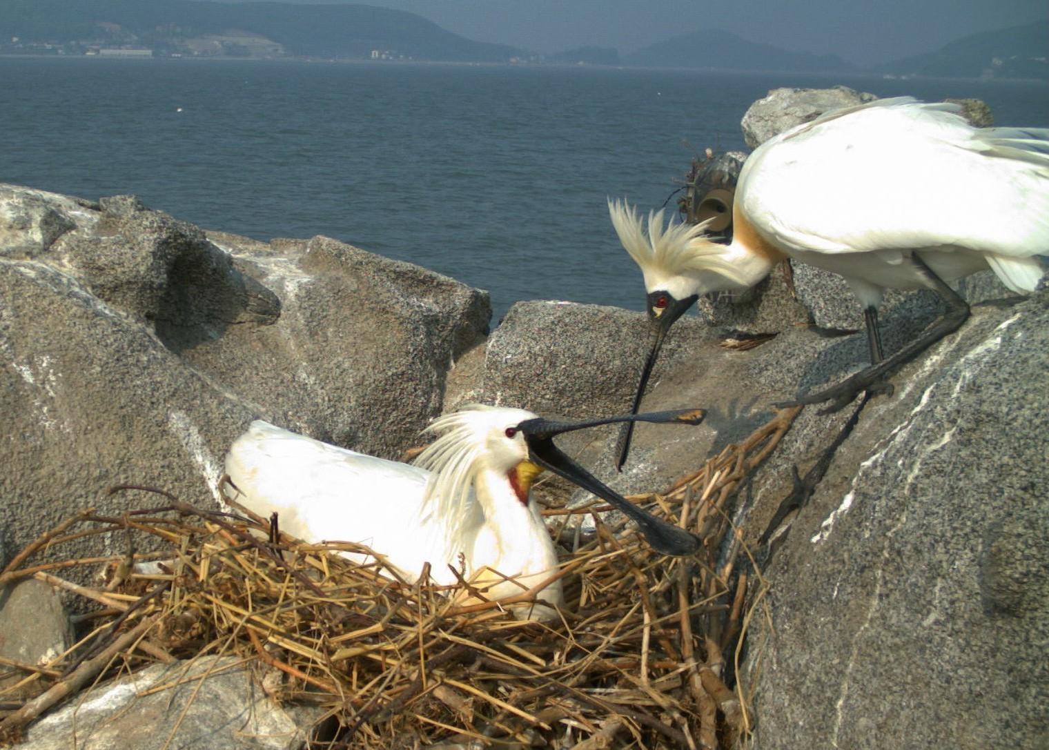 인천 강화도 각시암에서 사진에 잡힌암컷 저어새(오른쪽)와 수컷 누랑부리저어새 부부 저어새 종류는 암수가 번갈아 알을 품는다. [사진 한국조류연구소]