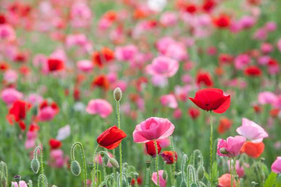 경남 하동 북천면에 꽃양귀비가 만개했다. 꽃양귀비는 마약 성분이 있는 양귀비와 다르다. 오직 경관용으로만 쓴다.